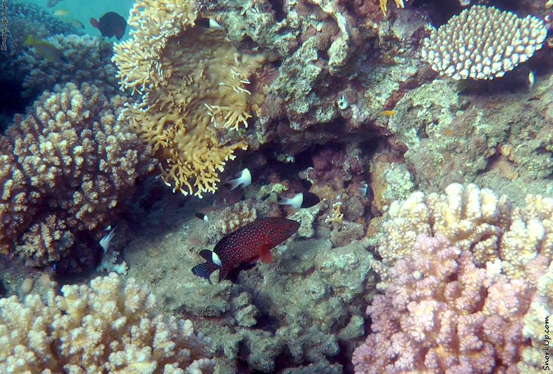 Коралловая гаррупа (лат.Cephalopholis miniata, анг.Coral hind) и на заднем плане<br> двуцветные хромисы (лат.Chromis dimidiata, анг.Chocolatedip chromis)